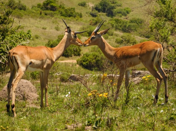 Antelope in the Lake Eland Nature Reserve, Oribi Gorge, KwaZulu-Natal
